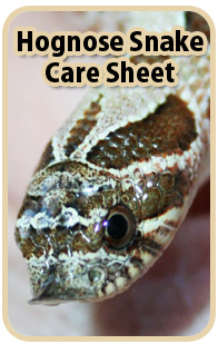 Hognose Snake Care Sheet