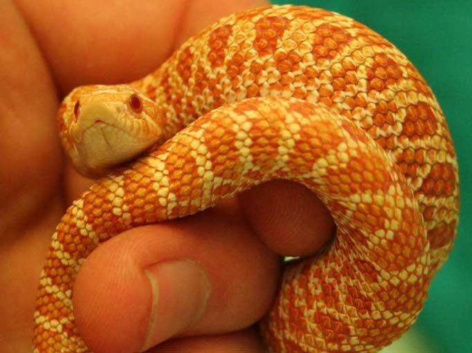 Western Hognose Snake Albino, Hognose Snake