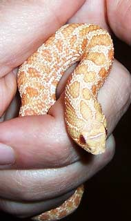 Albino Western Hognose being handled